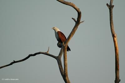 Brahmin Kite