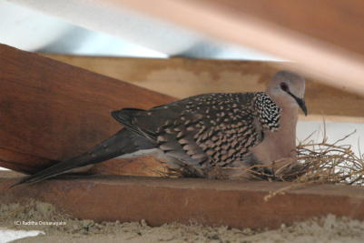 Spotted Dove Amonghts the Rafters